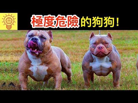 全球禁養!專為死鬥而生的戰鬥犬種!