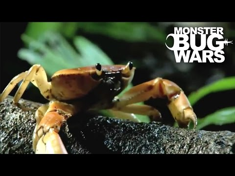 Army Ants vs  Rainforest Land Crab | MONSTER BUG WARS