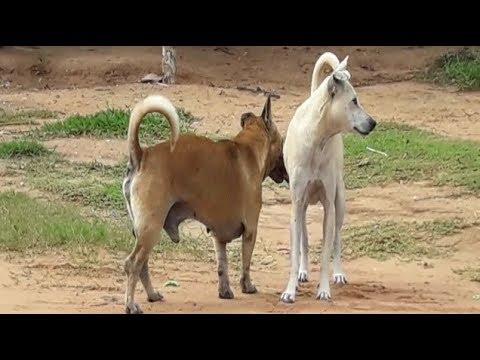 White  Female Dog meet  Dwarf Rural  Dog  Close to  the big Pond