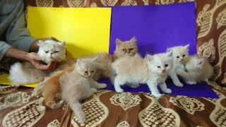 Punch Face Cat With Beautiful Kittens For Sale in Sahiwal New Video 2019