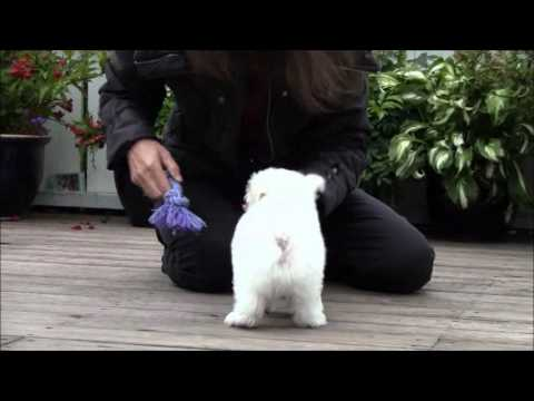 how to stop my maltese puppy from barking