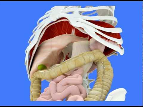 La respiration / les souffles