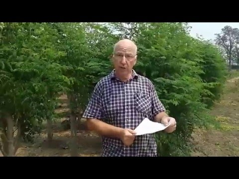 Moringa-Plantage in Paraguay