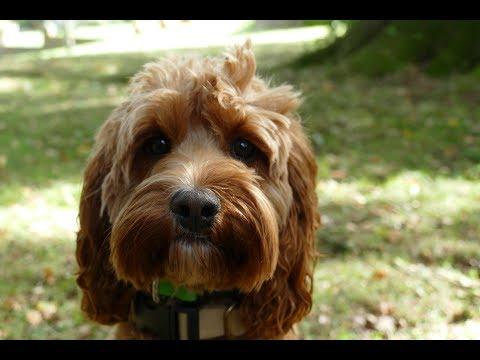 Rosie - Cavapoo - 3 Weeks Residential Dog Training