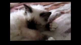 Little Birman kitten
