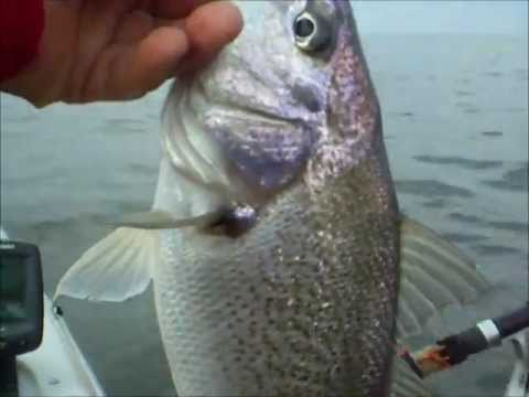 Croaker saved the day chesapeake bay fishing jun 25 for What is a croaker fish