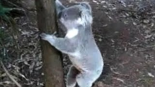 Koala running in Australia 日本の動物園では厳重に飼育されているコア...