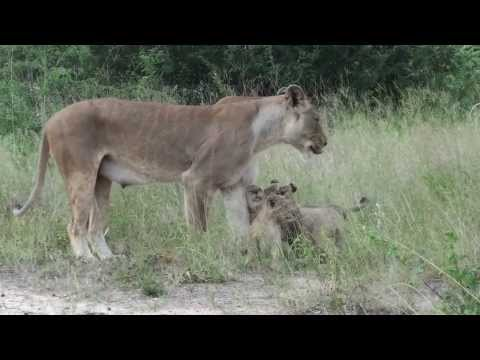 Lioness calling cubs at Pondoro lodge