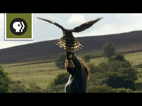 Falconer Takes Goshawk Out for First Test Flight