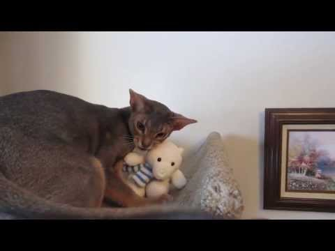 Introducing Dexter (Blue Abyssinian cat)