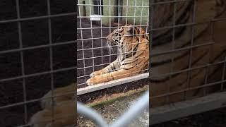 A Tiger making weird noises