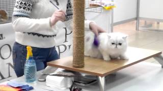 Перс Экзот, Пушистая белая Няшечка, Породы кошек