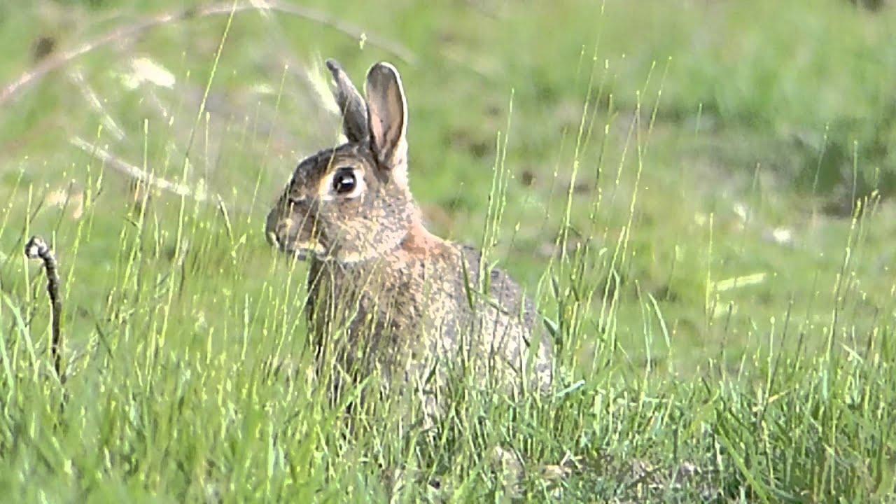 Lapin de garenne youtube - Cuisiner le lapin de garenne ...