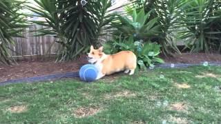Basil The Corgi Chasing Bubbles
