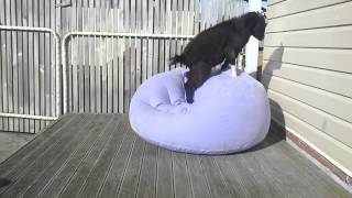 Goat Adorably Attempts To Balance On Blow Up Chair