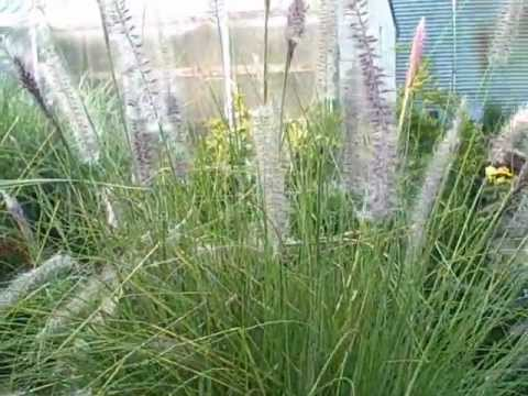 How to grow pennisetum mountain ruby grass an easy to for Easy to grow ornamental grasses