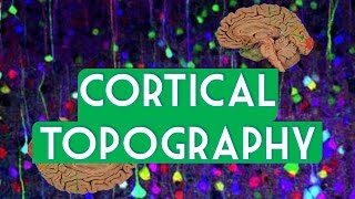 Cortical topography
