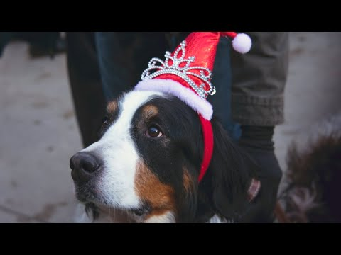 2019 Bernese Mountain Dog Parade Breckenridge Colorado