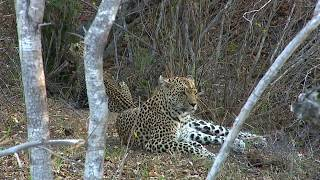 WE pay tribute to the great Leopard Queen of Djuma Karula!