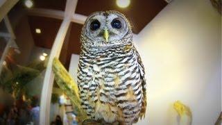可愛い瞳の子供フクロウ。仕草も可愛過ぎるフワフワな鳥です。 Lovely H...