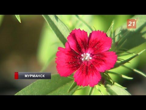 К середине июля в Мурманске высадят более 140 тысяч саженцев