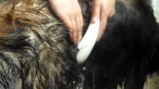 レオンベルガーの男の子をシャンプーして洗い流しているシーンです.