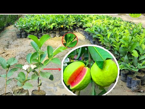 Taiwan Pink Guava Plant ,contact = 8926100200