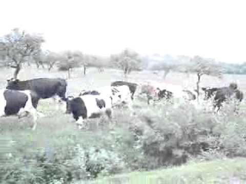 как заставить коров бежать прикол