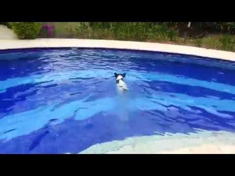 Bulldog frances nadando - French Bulldog Swimming