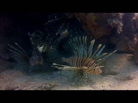 Lionfish: Sea Creatures Behind An Alarming Invasion