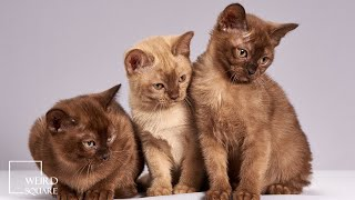 Burmese Cat Facts | Animal Facts | is domestically bred in Europe and across North America