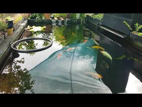 Autumn Pond Clean - Carp Pox - Potassium permanganate Dip!