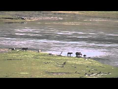 Wolves & Grizzly on Bison Carcass in Yellowstone River
