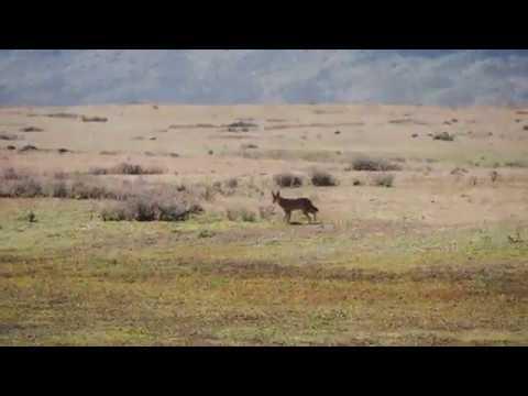 Ethiopian Wolf in Bale Moutains, Ethiopia