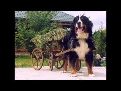 Appenzel Cattle Dog (Аппенцеллер зенненхунд)