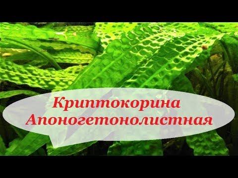 Криптокорина Апоногетонолистная, Апоногенолистная, уход, содержание в аквариуме. Размножение.