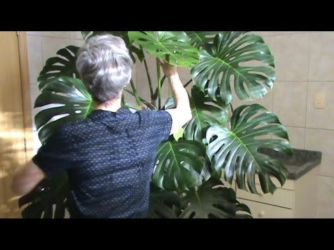 House Plant Pot Cutleaf Philodendron Aka Monstera Deliciosa Youtube