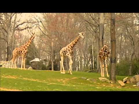 Thumbnail: Video for Kids - Animals - Giraffe