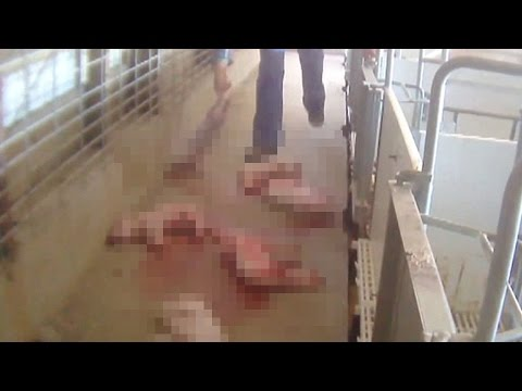 HORRIFIC Factory Farming Footage Leaked (GRAPHIC)