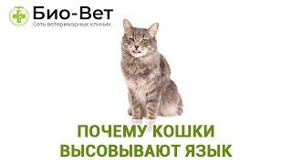 Почему кошки высовывают язык. Ветклиника Био-Вет