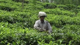 Sri Lankan woman plucks leaves at Morawaka Tea Estate