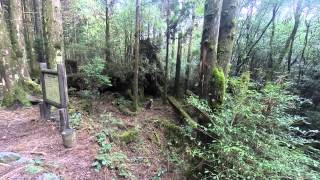 屋久島縄文杉からの帰り道、野犬の親子を発見しました。 鹿を狩りして食...