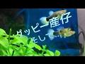 グッピー 産仔 【熱帯魚 アクアリウム 稚魚】 の動画、YouTube動画。