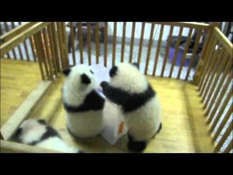 Cuddly Baby Pandas