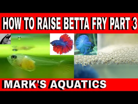 HOW TO BREED BETTA PART 3 RAISING THE FRY.