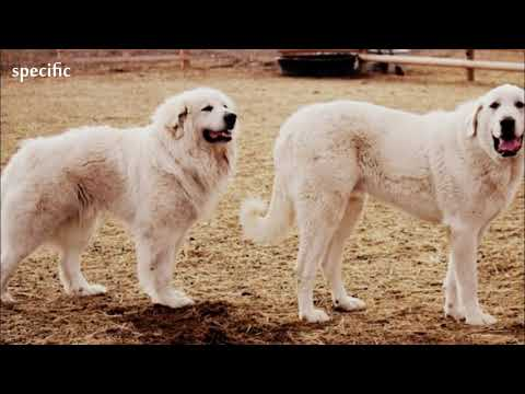 Details about Akbash dog  Specific information about animals  Animal wikipedia series