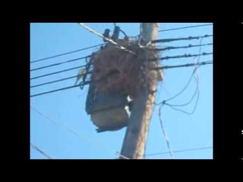 Wild Monk Parrots Nesting in Electrical Transformer in Howard Beach, N.Y.