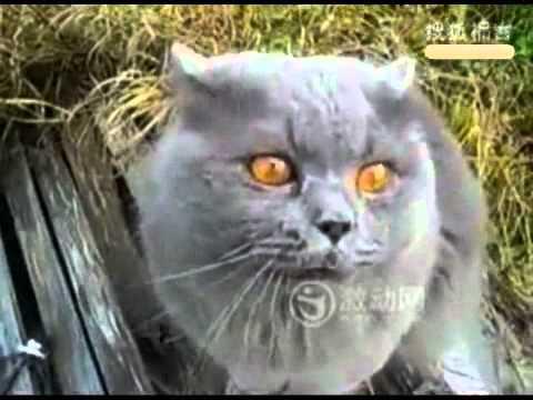 Video Chú mèo biết nói chuyện - Buonchuyen.info.flv