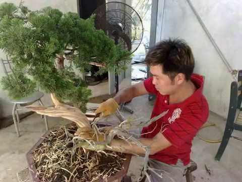 cutting plant for  bonsai cultivation