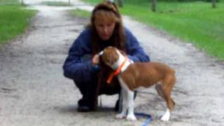 Puppy Training Boxer introducing the Pager Collar Dogtra